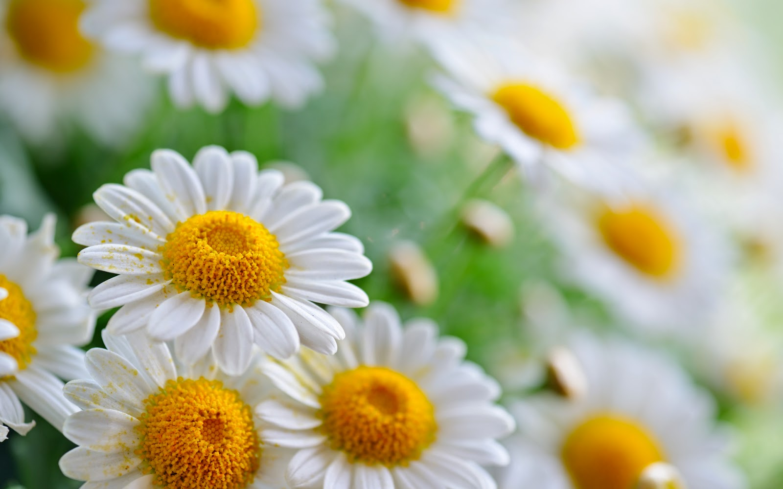 group-of-white-daisy-flowers-pictures.jpg