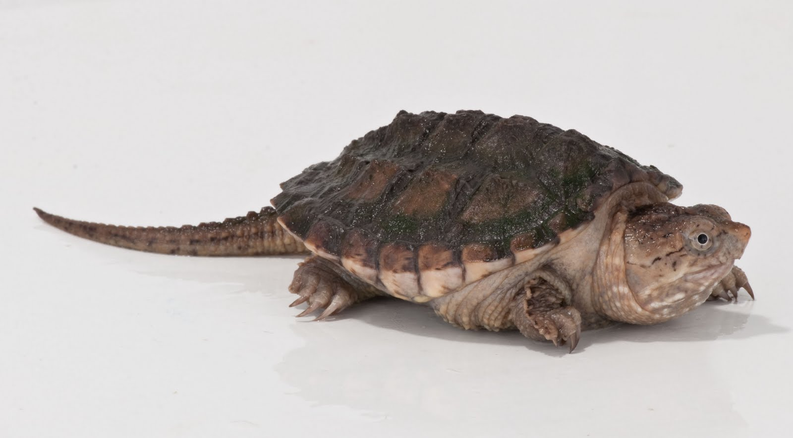 Biology of the Reptilia: Reptiles lab 2 - Turtles (Thompson & Serna)
