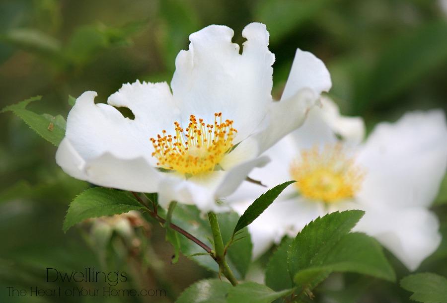 Rosa laevigata Cherokee Rose
