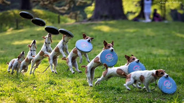 Jack Russell Terrier, Parson Russell Terrier, czy jest dla mnie, jaką rasę wybrać, pies dla rodziny z dzieckiem, jak wybrać psa, opis rasy, cechy charakteru, nadmierna szczekliwość, problem z, skakanie na gości,