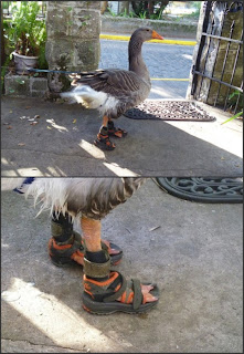 goose with sandals