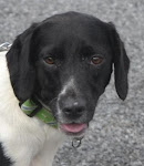 10/02/11 Jake URGENT URGENT Spaniel/Pointer Mix: Warren, OH Medium • Young • Male