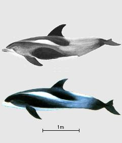 delfin pico blanco Lagenorhynchus albirostris