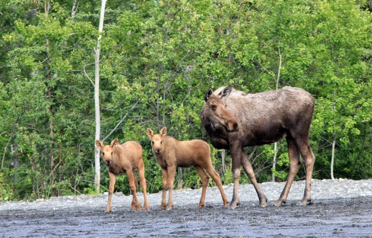 denali's big 5 moose