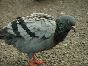 High flying Pigeon: pigeons diseases