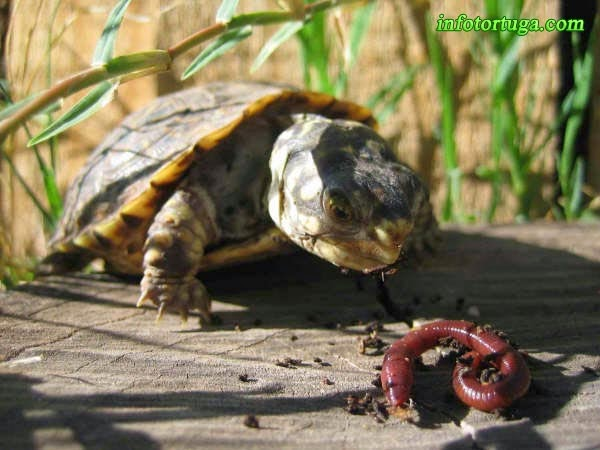 Terrapene ornata luteola comiendo