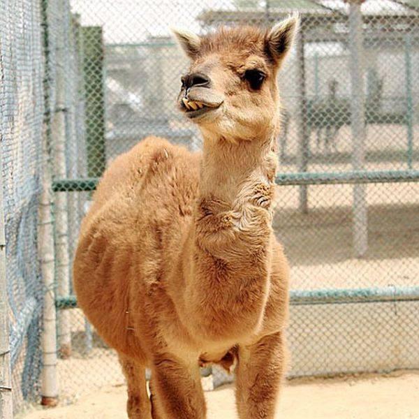 Camel Llama Cama