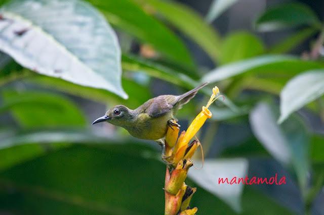 Brown Throated Sunbird