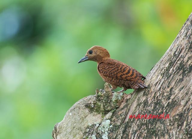 Rufous Woodpecker (Celeus brachyurus)
