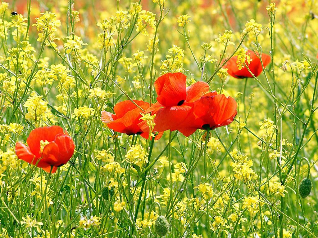 http://2.bp.blogspot.com/-eB1iducI_SU/UTTJzPBYwHI/AAAAAAAAUCA/cnwku9d7c0w/s1600/Poppy+Flowers+Desktop+Wallpapers+2.jpg