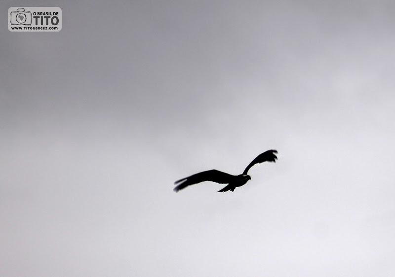 Gavião voa na ilha de Maiandeua (Algodoal), no Pará