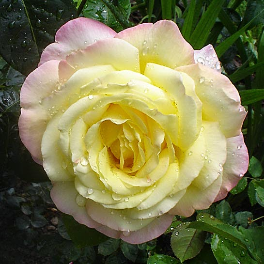 National Peace Rose Day