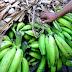 Comerciantes afirman que el plátano ha bajado de precio