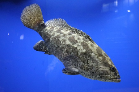 Marbled grouper