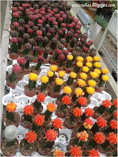 Warna Bunga Kaktus, Kaktus Cameron Highlands
