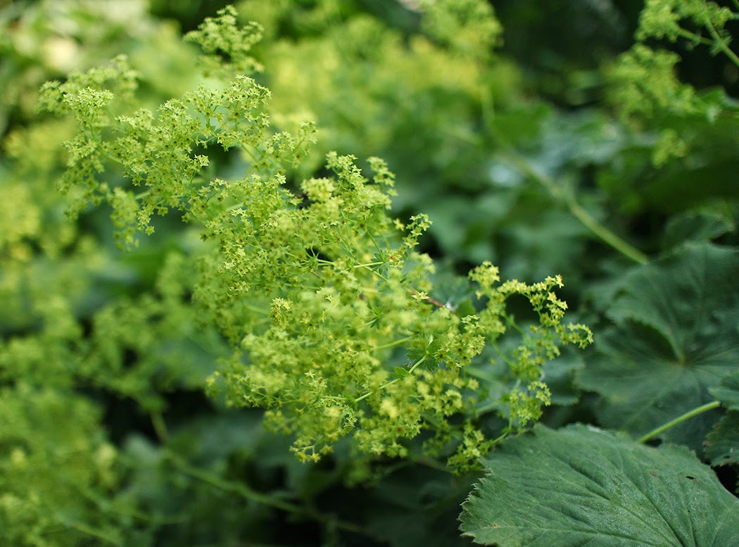 Lady's Mantle: A perennial I wouldn't be without