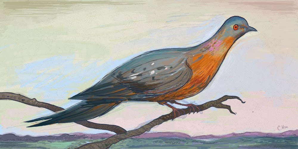 Passenger Pigeon Illustration, Chris Hsu