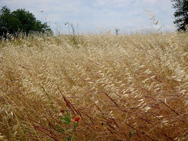 Protected native tallgrass prairie at Winfrey Point, White Rock Lake, Dallas, Texas