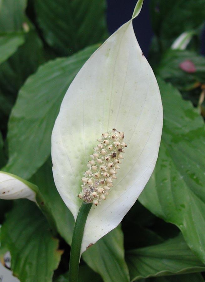Im genes de flores y plantas espatifilo - Fotos plantas de interior ...