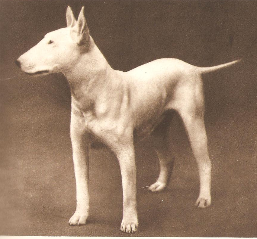 Bull terrier for English terrier