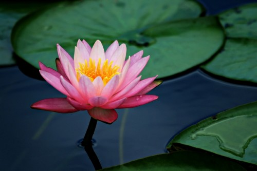 Lotus Flower Pictures