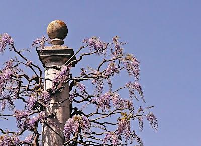 wisteria rome glicine roma