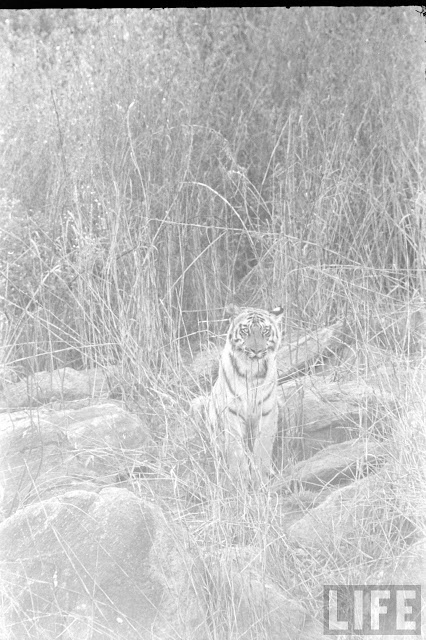 Tiger+Hunting+Photographs+of+India+-+1965+%252822%2529