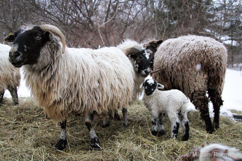 how to raise sheep on a farm