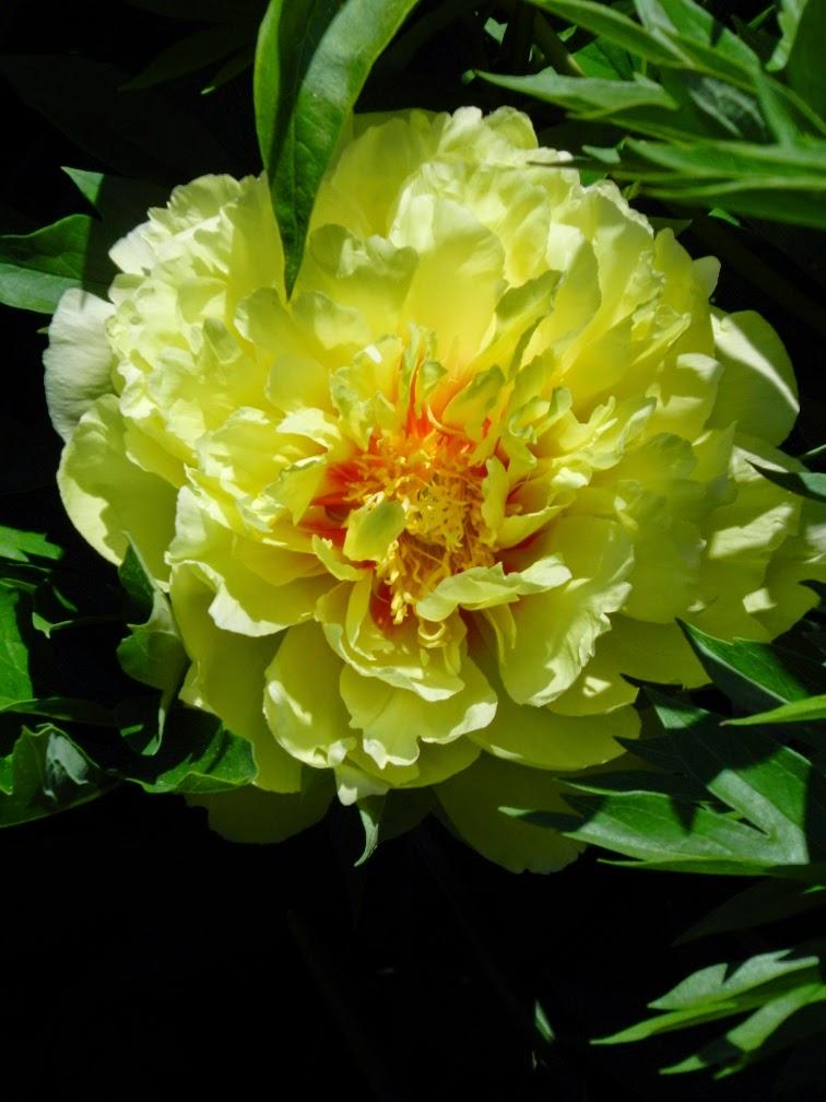 Paeonia Bartzella Hybrid Itoh Peony Toronto Botanical Garden by garden muses-not another Toronto gardening blog