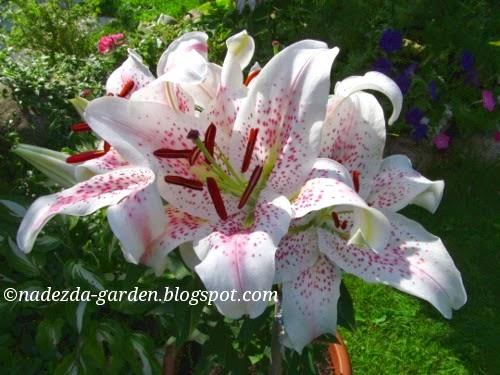 Почему не растут лилии