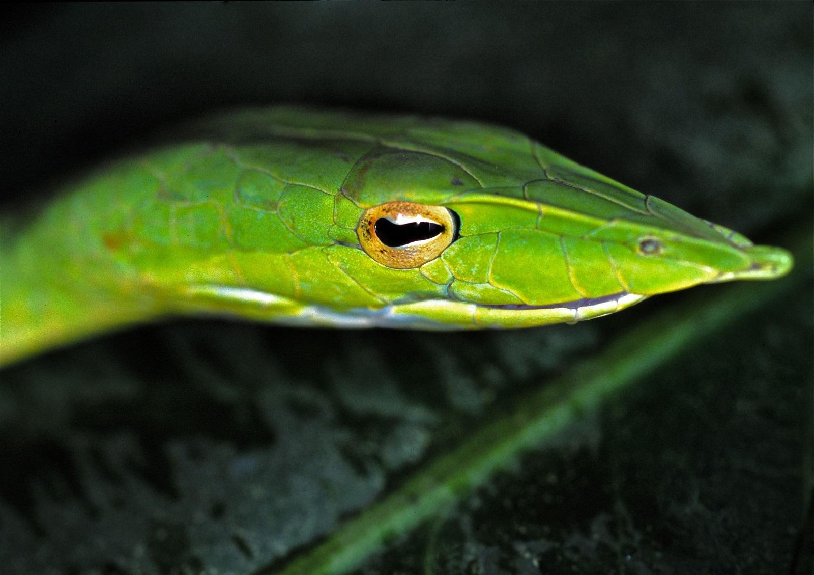 Real Monstrosities Asian Vine Snake