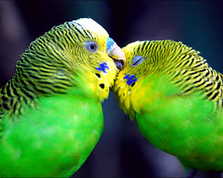 Birds In Love HD Wallpaper