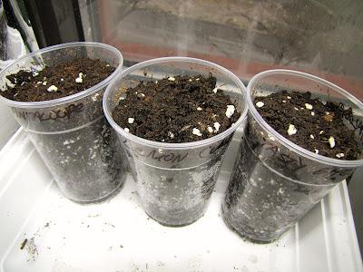 Bucolic Bushwick Seed Starting