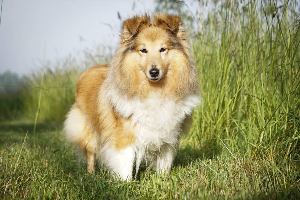 Vi föder upp Shetland Sheepdog till aktiva hem