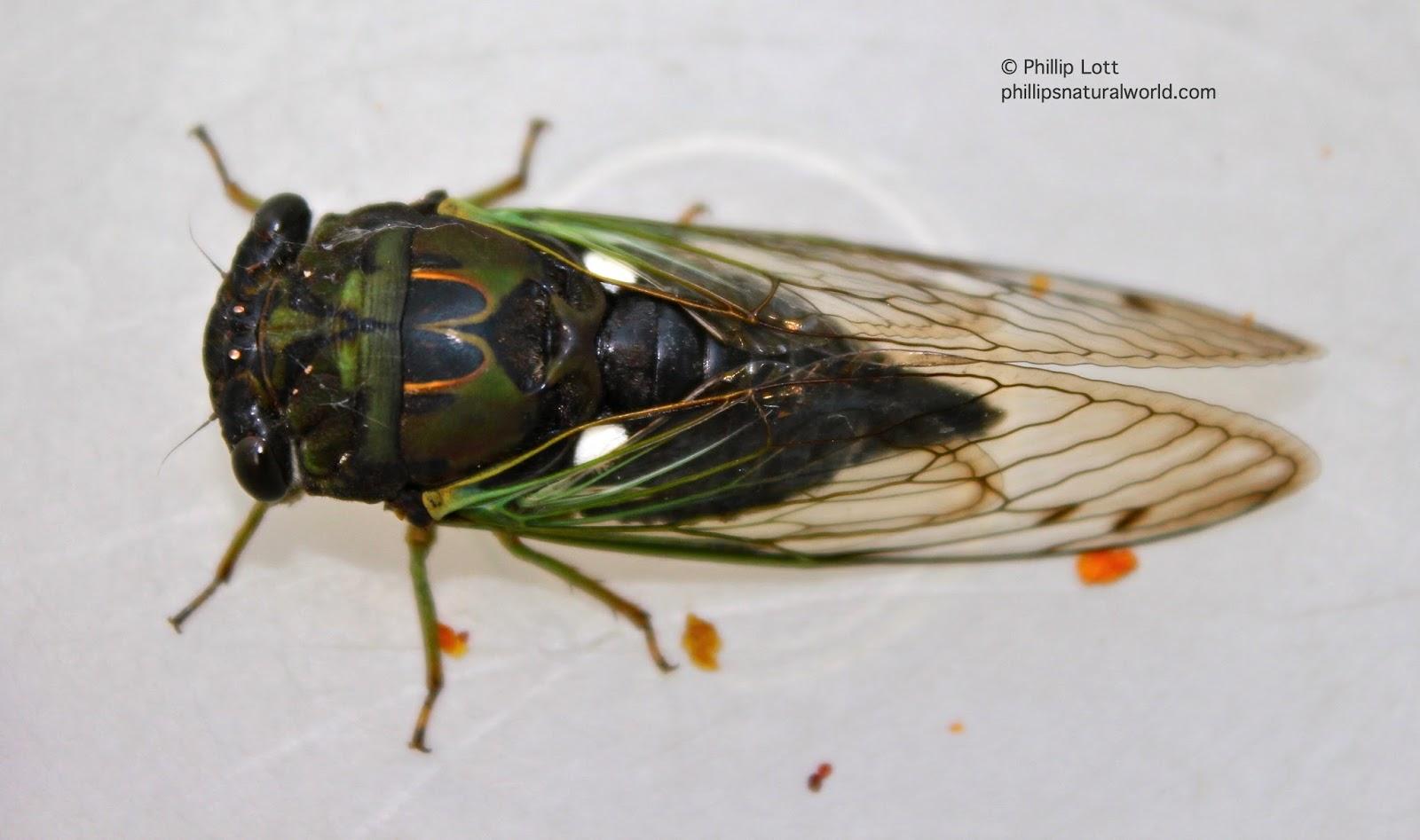 cicada eggs - photo #41