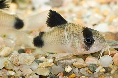 Corydoras Panda – Akvaryum Kedi Balığı
