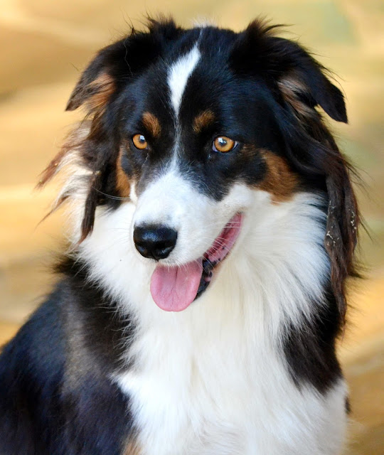Portrait of collie dog