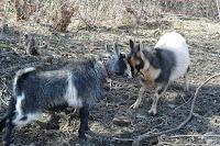 Nigerian Dwarf Goats playing
