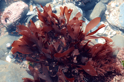 Dulse (Palmaria Palmata) Overview, Health Benefits, Side effects