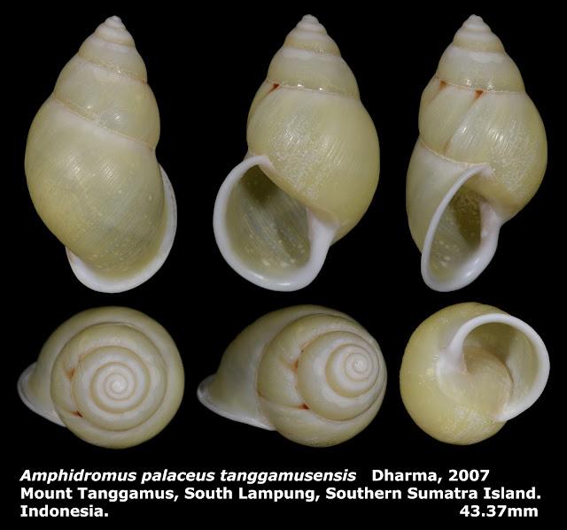 Amphidromus palaceus tanggamusensis 43.37mm