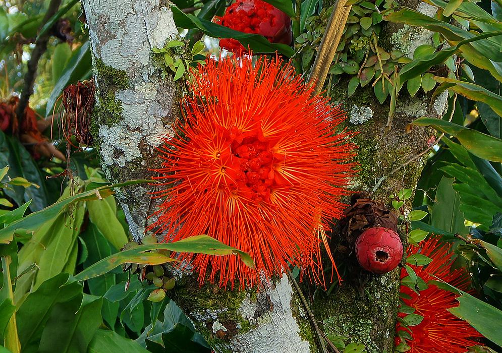 garden at heart: Plant Profiles: Brownea