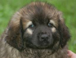 Leonberger Puppies on Leonberger Dog Puppies