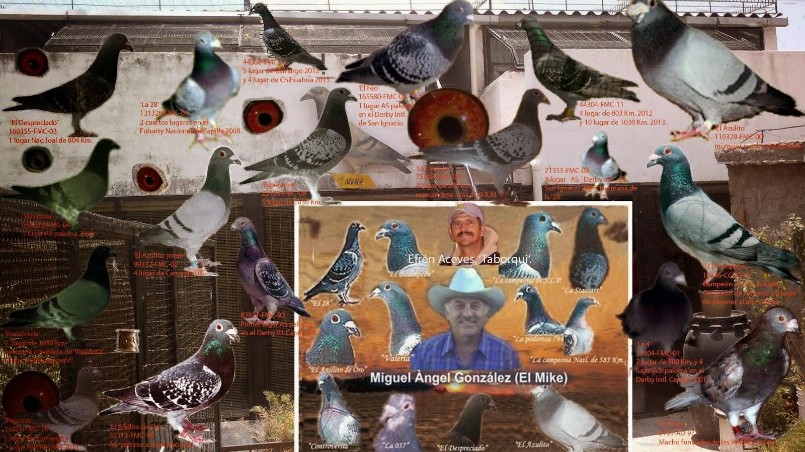 Algunas de las palomas fundadoras de mí palomar.