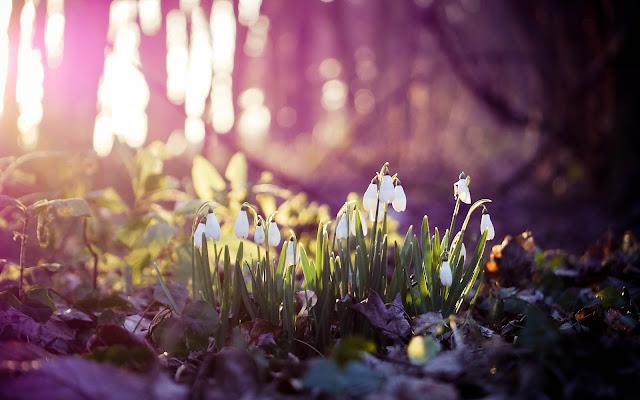 Lente met witte sneeuwklokjes in het bos