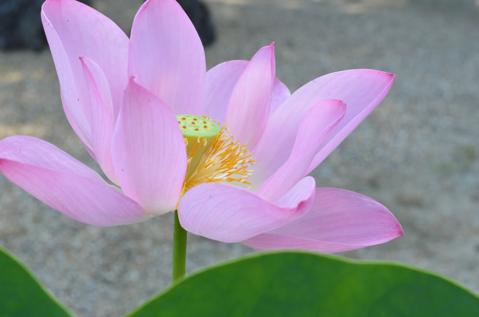 Sarahs English Writing Blog Lotus Flower In Nara