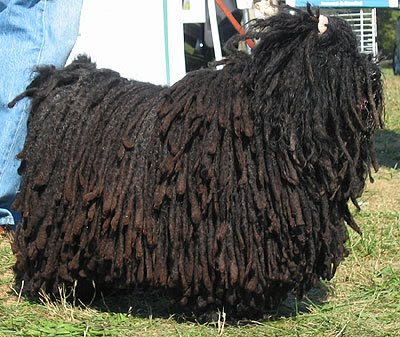 Puli Dog Breed Photos Dog Pictures Online