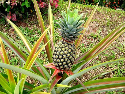 pineapple food industry news. Black Bedroom Furniture Sets. Home Design Ideas