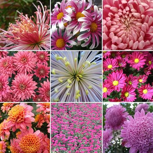 Luciana giuliani paisagismo significado das flores - Como cultivar crisantemos ...