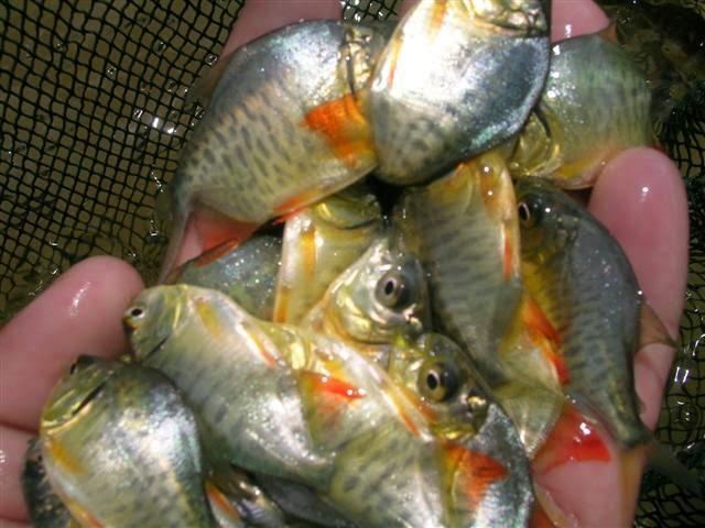 อาชีพเสริม รายได้เสริม การเพาะพันธุ์ปลาจาระเม็ดน้ำจืด