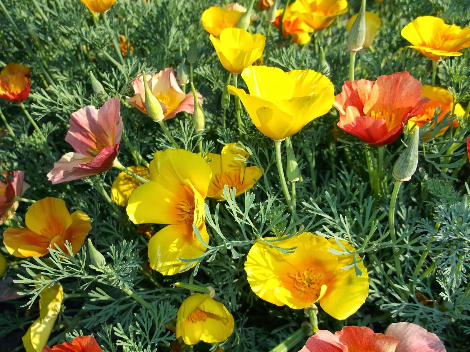 Эшшольция фото цветов 15 фотография